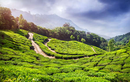 Tea plantation in Munnar, Kerala, India  photo