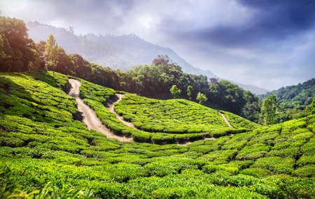 tea plantations: Tea plantation in Munnar, Kerala, India