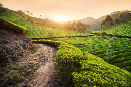 Tea plantations at sunset in Munnar hills, Kerala, India