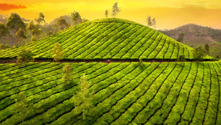Small woman in huge tea plantation hills at sunset in Munnar hills, Kerala, India  Stock Photo