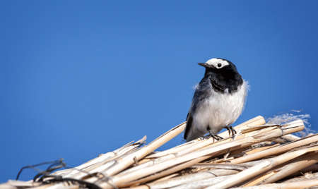 Masked wagtail sitting on the roof at blue sky near Alakol Lake, Kazakhstan    photo