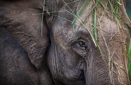head close up: Elephant with grass on his head close up in Chitwan national park, Nepal
