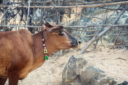 india cow: Cow with necklace on the Om beach, Gokarna, India