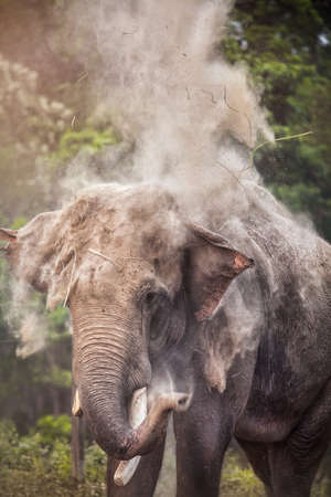 strew: Elephant blowing dust from his trunk in Chitwan national park, Nepal