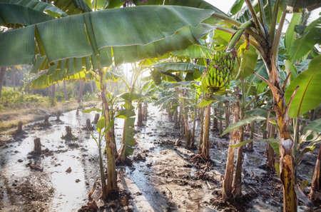 Banana plantations in Hampi, Karnataka, India photo