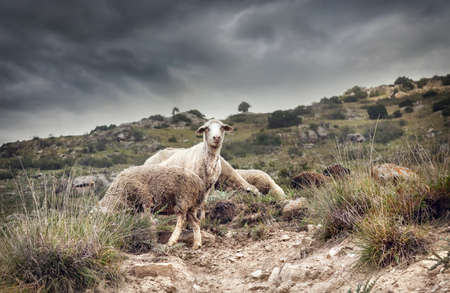 issyk kul: Sheep eating grass in the mountains at overcast dramatic sky