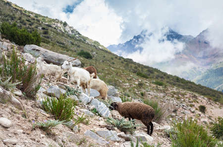 issyk kul: Goats and sheep in the Gregory gorge mountains of Kyrgyzstan, Central Asia