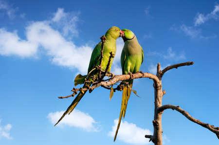 bacio: Coppia di parrocchetti baciare l'albero a cielo blu a Udaipur, Rajasthan, India