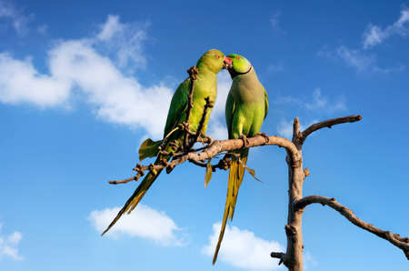 beso: Un par de periquitos que se besan en el árbol en el cielo azul en Udaipur, Rajasthan, India