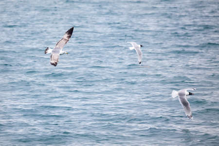 relict: Caspian gull and relict gull at the lake Alakol in Kazakhstan, central Asia