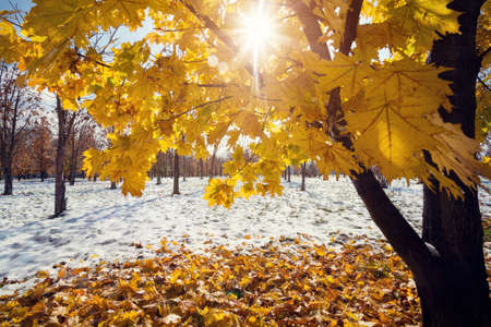 Maple with yellow leaves at the park with snow at frosty autumn Stock Photo