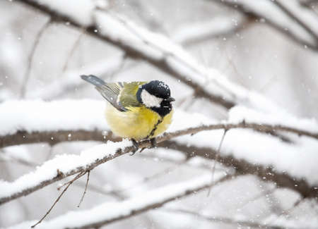Little bird Great tit sitting at snowy branch of the tree in the Park Stock Photo