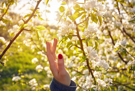 Woman touching flowers of blossom cherry by her hand. Spring season concept. Reklamní fotografie
