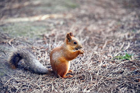 Red Squirrel eating sunflower seeds in the city park Stock Photo