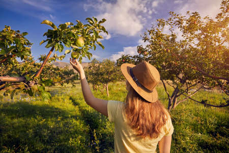 Woman in hat piking yellow apple in the garden at sunset Stock Photo
