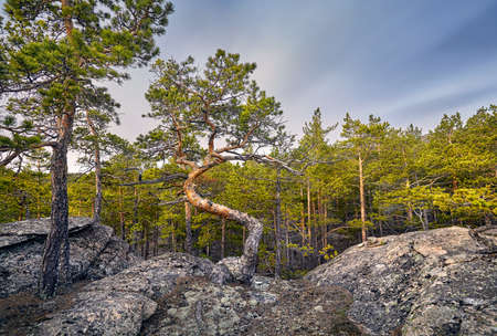 Beautiful view of Pine trees in ecological clean forest of Karkaraly national park in Central Kazakhstan Stock Photo