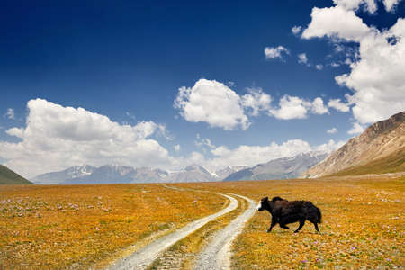 Black Yak crossing the road in the mountain valley of Kyrgyzstan, Central Asia Stock fotó
