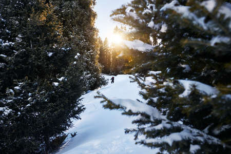 Tourist with backpack in the snowy forest in the mountains Stock Photo