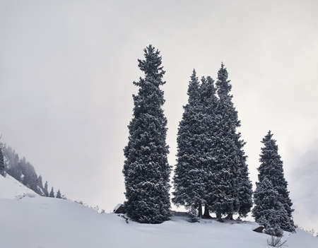 Minimalistic landscape of pine tree at Winter Mountains at snowfall time