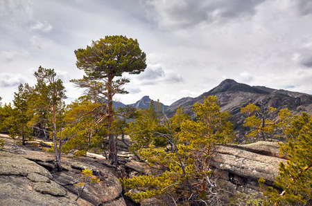 Beautiful pine trees in the forest at rocky mountains of Karkaraly national park in Central Kazakhstan Stock fotó