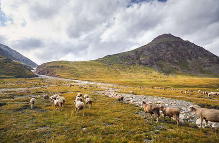 Sheep in near the river in Terskey Alatau Mountains of Kyrgyzstan, Central Asia Stock Photo