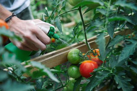 Farmer watering tomatoes by sprayer in his greenhouse close up shot