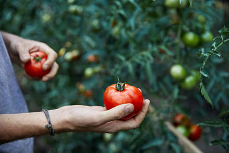 Young farmer is picking red ripe tomatoes in his shirt at greenhouse. Natural farming concept