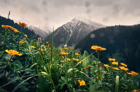 Meadow with yellow flowers and green hills at mountain valley against cloudy sky in Kazakhstan