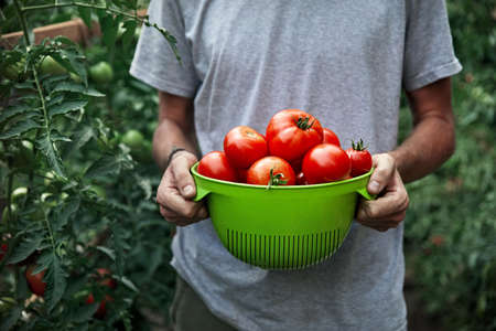 Young farmer is holding bowl full of fresh picked ripe tomatoes at greenhouse. Natural farming concept. Stok Fotoğraf