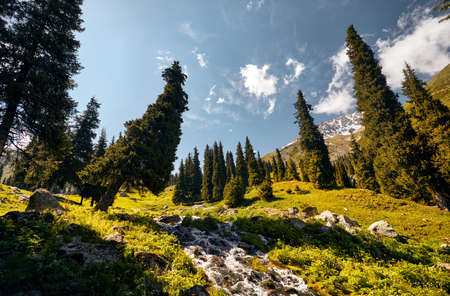 Pine tree in the mountain valley at sunny day in Kazakhstan Stok Fotoğraf