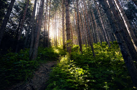 Sunlight glowing through the pine trees in the green forest. Stok Fotoğraf