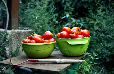 Bowl full of fresh picked ripe tomatoes at greenhouse.