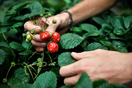 Farmer is picking red ripe strawberry in his greenhouse.