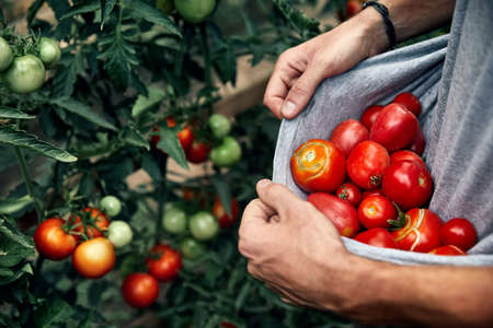 Farmer is holding his shirt full of red ripe tomatoes at the garden
