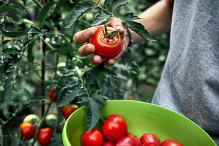 Farmer putting red ripe tomatoes in his shirt at greenhouse