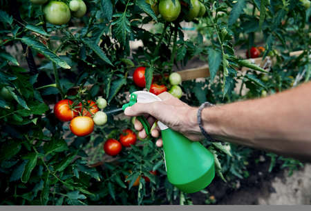 Farmer is watering tomatoes by sprayer in his greenhouse. Natural farming and healthy eating concept Stok Fotoğraf