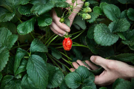 Farmer is picking red ripe strawberry in his greenhouse. Natural farming and healthy eating concept Stok Fotoğraf