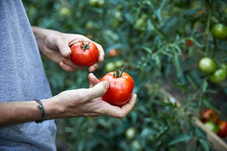 Farmer is picking red ripe tomatoes in his greenhouse. Natural farming and healthy eating concept