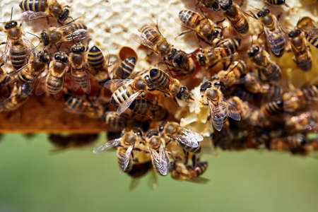 Macro shot of Bees close up on honeycomb frame at the apiary in the mountains 免版税图像
