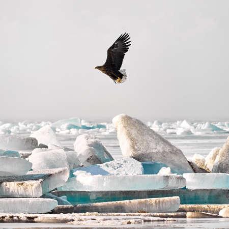 White tailed eagle in flight near Ice hummock at frozen lake Kapchagay, Kazakhstan Zdjęcie Seryjne