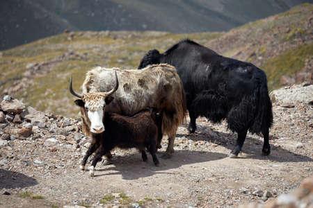 Herd of Yaks on the road in the mountain valley of Tien Shan in Kazakhstan, Central Asia Zdjęcie Seryjne