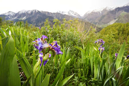 Blossom of violet flowers iris at spring season in the mountains in Almaty, Kazakhstan.