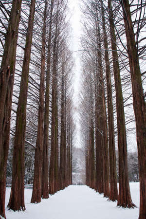 Row of pine trees at Nami island, Korea