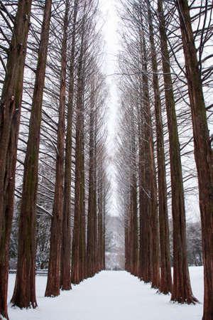 Row of pine trees at Nami island, Korea