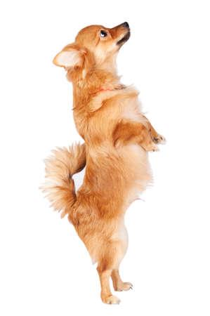 Cute dog jumping über einem weißen Hintergrund Lizenzfreie Bilder
