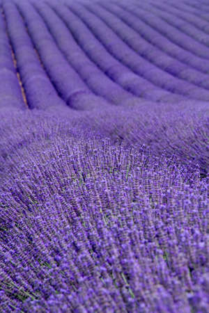 Lavendelfelder in der Nähe Valensole in der Provence, Frankreich