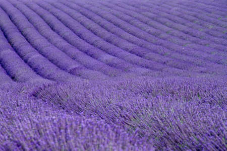 Lavender fields  near Valensole in Provence, France photo