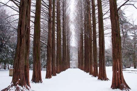 snow scene: Row of pine trees at Nami island, Korea
