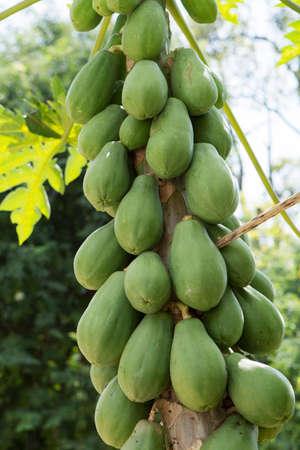 Papaya-Baum mit Haufen von Früchten
