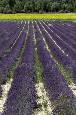 Lavender fields in Provence, France photo